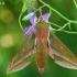 Pievinis sfinksas - Deilephila elpenor    Fotografijos autorius : Gintautas Steiblys   © Macrogamta.lt   Šis tinklapis priklauso bendruomenei kuri domisi makro fotografija ir fotografuoja gyvąjį makro pasaulį.