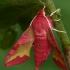 Mažasis sfinksas - Deilephila porcellus  | Fotografijos autorius : Gintautas Steiblys | © Macrogamta.lt | Šis tinklapis priklauso bendruomenei kuri domisi makro fotografija ir fotografuoja gyvąjį makro pasaulį.