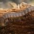 Šimtakojis dviporiakojis - Polydesmus sp.  | Fotografijos autorius : Gintautas Steiblys | © Macrogamta.lt | Šis tinklapis priklauso bendruomenei kuri domisi makro fotografija ir fotografuoja gyvąjį makro pasaulį.