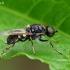 Plokščiamusė - Oxycera leonina | Fotografijos autorius : Gintautas Steiblys | © Macrogamta.lt | Šis tinklapis priklauso bendruomenei kuri domisi makro fotografija ir fotografuoja gyvąjį makro pasaulį.
