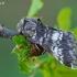 Dvijuostė drimonija - Drymonia ruficornis | Fotografijos autorius : Gintautas Steiblys | © Macrogamta.lt | Šis tinklapis priklauso bendruomenei kuri domisi makro fotografija ir fotografuoja gyvąjį makro pasaulį.