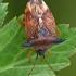 Mėlyninė skydblakė - Elasmucha ferrugata | Fotografijos autorius : Gintautas Steiblys | © Macrogamta.lt | Šis tinklapis priklauso bendruomenei kuri domisi makro fotografija ir fotografuoja gyvąjį makro pasaulį.