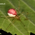 Paprastasis pinkliavoris - Enoplognatha ovata  | Fotografijos autorius : Gintautas Steiblys | © Macrogamta.lt | Šis tinklapis priklauso bendruomenei kuri domisi makro fotografija ir fotografuoja gyvąjį makro pasaulį.