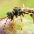 Dirvinė žiedvapsvė - Mellinus arvensis  | Fotografijos autorius : Gintautas Steiblys | © Macrogamta.lt | Šis tinklapis priklauso bendruomenei kuri domisi makro fotografija ir fotografuoja gyvąjį makro pasaulį.