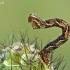 Gudobelinis sprindytis - Eupithecia virgaureata, vikšras | Fotografijos autorius : Gintautas Steiblys | © Macrogamta.lt | Šis tinklapis priklauso bendruomenei kuri domisi makro fotografija ir fotografuoja gyvąjį makro pasaulį.
