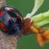 Keturdėmė boružė - Exochomus quadripustulatus  | Fotografijos autorius : Gintautas Steiblys | © Macrogamta.lt | Šis tinklapis priklauso bendruomenei kuri domisi makro fotografija ir fotografuoja gyvąjį makro pasaulį.