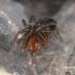 Dirvavoris - Hahnia sp.  | Fotografijos autorius : Gintautas Steiblys | © Macrogamta.lt | Šis tinklapis priklauso bendruomenei kuri domisi makro fotografija ir fotografuoja gyvąjį makro pasaulį.