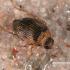 Upinis dumbliavabalis - Haliplus fluviatilis  | Fotografijos autorius : Gintautas Steiblys | © Macrogamta.lt | Šis tinklapis priklauso bendruomenei kuri domisi makro fotografija ir fotografuoja gyvąjį makro pasaulį.
