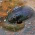 Įvairiaspalvis kūdravabalis - Hydrobius fuscipes  | Fotografijos autorius : Gintautas Steiblys | © Macrogamta.lt | Šis tinklapis priklauso bendruomenei kuri domisi makro fotografija ir fotografuoja gyvąjį makro pasaulį.