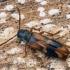 Ąžuolinis niūravabalis - Hypulus quercinus  | Fotografijos autorius : Gintautas Steiblys | © Macrogamta.lt | Šis tinklapis priklauso bendruomenei kuri domisi makro fotografija ir fotografuoja gyvąjį makro pasaulį.