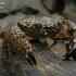 Uolinis krabas - Eriphia verrucosa | Fotografijos autorius : Gintautas Steiblys | © Macrogamta.lt | Šis tinklapis priklauso bendruomenei kuri domisi makro fotografija ir fotografuoja gyvąjį makro pasaulį.