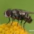 Mėsmusė - Oebalia cylindrica  | Fotografijos autorius : Gintautas Steiblys | © Macrogamta.lt | Šis tinklapis priklauso bendruomenei kuri domisi makro fotografija ir fotografuoja gyvąjį makro pasaulį.