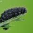 Kraujažolinis grublys - Galeruca tanaceti, lerva | Fotografijos autorius : Gintautas Steiblys | © Macrogamta.lt | Šis tinklapis priklauso bendruomenei kuri domisi makro fotografija ir fotografuoja gyvąjį makro pasaulį.