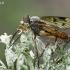 Slankmusė - Rhagio scolopaceus | Fotografijos autorius : Gintautas Steiblys | © Macrogamta.lt | Šis tinklapis priklauso bendruomenei kuri domisi makro fotografija ir fotografuoja gyvąjį makro pasaulį.