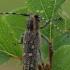 Mažasis drebulenis - Saperda populnea   Fotografijos autorius : Gintautas Steiblys   © Macrogamta.lt   Šis tinklapis priklauso bendruomenei kuri domisi makro fotografija ir fotografuoja gyvąjį makro pasaulį.