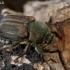 Grambuoliukas - Blitopertha lineata | Fotografijos autorius : Gintautas Steiblys | © Macrogamta.lt | Šis tinklapis priklauso bendruomenei kuri domisi makro fotografija ir fotografuoja gyvąjį makro pasaulį.