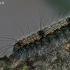 Keturtaškė kerpytė - Lithosia quadra- vikšras | Fotografijos autorius : Gintautas Steiblys | © Macrogamta.lt | Šis tinklapis priklauso bendruomenei kuri domisi makro fotografija ir fotografuoja gyvąjį makro pasaulį.