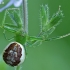 Rudasis lapavoris - Diaea dorsata   Fotografijos autorius : Gintautas Steiblys   © Macrogamta.lt   Šis tinklapis priklauso bendruomenei kuri domisi makro fotografija ir fotografuoja gyvąjį makro pasaulį.
