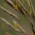 Tikrasis eraičinas - Lolium pratense | Fotografijos autorius : Gintautas Steiblys | © Macrogamta.lt | Šis tinklapis priklauso bendruomenei kuri domisi makro fotografija ir fotografuoja gyvąjį makro pasaulį.