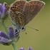 Akiuotasis melsvys - Plebeius argus  | Fotografijos autorius : Gintautas Steiblys | © Macrogamta.lt | Šis tinklapis priklauso bendruomenei kuri domisi makro fotografija ir fotografuoja gyvąjį makro pasaulį.