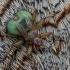 Čiurlinė musė siurbikė - Crataerina pallida   Fotografijos autorius : Gintautas Steiblys   © Macrogamta.lt   Šis tinklapis priklauso bendruomenei kuri domisi makro fotografija ir fotografuoja gyvąjį makro pasaulį.