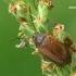 Pušinis dulkiagraužis - Isomira murina  | Fotografijos autorius : Gintautas Steiblys | © Macrogamta.lt | Šis tinklapis priklauso bendruomenei kuri domisi makro fotografija ir fotografuoja gyvąjį makro pasaulį.