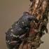Mažasis pušinis straubliukas - Hylobius pinastri   Fotografijos autorius : Gintautas Steiblys   © Macrogamta.lt   Šis tinklapis priklauso bendruomenei kuri domisi makro fotografija ir fotografuoja gyvąjį makro pasaulį.