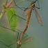 Ilgakojai uodai - Nephrotoma flavescens | Fotografijos autorius : Gintautas Steiblys | © Macrogamta.lt | Šis tinklapis priklauso bendruomenei kuri domisi makro fotografija ir fotografuoja gyvąjį makro pasaulį.
