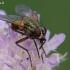 Tikramusė - Phaonia angelicae | Fotografijos autorius : Gintautas Steiblys | © Macrogamta.lt | Šis tinklapis priklauso bendruomenei kuri domisi makro fotografija ir fotografuoja gyvąjį makro pasaulį.