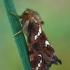 Mažasis šakniagraužis - Phymatopus hecta | Fotografijos autorius : Gintautas Steiblys | © Macrogamta.lt | Šis tinklapis priklauso bendruomenei kuri domisi makro fotografija ir fotografuoja gyvąjį makro pasaulį.