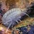 Kietašarvė šoniplauka - Pontogammarus robustoides  | Fotografijos autorius : Gintautas Steiblys | © Macrogamta.lt | Šis tinklapis priklauso bendruomenei kuri domisi makro fotografija ir fotografuoja gyvąjį makro pasaulį.
