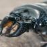 Šiaurinis elniavabalis - Ceruchus chrysomelinus, patinas  | Fotografijos autorius : Gintautas Steiblys | © Macrogamta.lt | Šis tinklapis priklauso bendruomenei kuri domisi makro fotografija ir fotografuoja gyvąjį makro pasaulį.