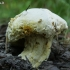 Auksiškasis pelėsis - Hypomyces chrysospermus | Fotografijos autorius : Gintautas Steiblys | © Macrogamta.lt | Šis tinklapis priklauso bendruomenei kuri domisi makro fotografija ir fotografuoja gyvąjį makro pasaulį.