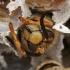Širšuolas - Vespa crabro   Fotografijos autorius : Gintautas Steiblys   © Macrogamta.lt   Šis tinklapis priklauso bendruomenei kuri domisi makro fotografija ir fotografuoja gyvąjį makro pasaulį.