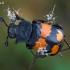 Juodbuožis duobkasys - Nicrophorus vespilloides | Fotografijos autorius : Gintautas Steiblys | © Macrogamta.lt | Šis tinklapis priklauso bendruomenei kuri domisi makro fotografija ir fotografuoja gyvąjį makro pasaulį.