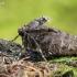 Mažasis žiemsprindis - Operophtera brumata, patelė | Fotografijos autorius : Gintautas Steiblys | © Macrogamta.lt | Šis tinklapis priklauso bendruomenei kuri domisi makro fotografija ir fotografuoja gyvąjį makro pasaulį.