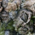 Jūrų gilės - Semibalanus balanoides   Fotografijos autorius : Gintautas Steiblys   © Macrogamta.lt   Šis tinklapis priklauso bendruomenei kuri domisi makro fotografija ir fotografuoja gyvąjį makro pasaulį.