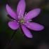 Triskiautė žibuoklė - Hepatica nobilis f. purpurea | Fotografijos autorius : Gintautas Steiblys | © Macrogamta.lt | Šis tinklapis priklauso bendruomenei kuri domisi makro fotografija ir fotografuoja gyvąjį makro pasaulį.