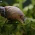 Mažoji gintarėlė - Succinella oblonga | Fotografijos autorius : Gintautas Steiblys | © Macrogamta.lt | Šis tinklapis priklauso bendruomenei kuri domisi makro fotografija ir fotografuoja gyvąjį makro pasaulį.