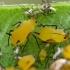 Oleandriniai amarai - Aphis nerii | Fotografijos autorius : Gintautas Steiblys | © Macrogamta.lt | Šis tinklapis priklauso bendruomenei kuri domisi makro fotografija ir fotografuoja gyvąjį makro pasaulį.