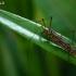 Ilgakojis uodas - Nephrotoma scalaris | Fotografijos autorius : Gintautas Steiblys | © Macrogamta.lt | Šis tinklapis priklauso bendruomenei kuri domisi makro fotografija ir fotografuoja gyvąjį makro pasaulį.