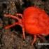 Aksominė erkė - Trombidium holosericeum | Fotografijos autorius : Gintautas Steiblys | © Macrogamta.lt | Šis tinklapis priklauso bendruomenei kuri domisi makro fotografija ir fotografuoja gyvąjį makro pasaulį.