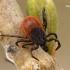 Miškinė erkė - Ixodes ricinus | Fotografijos autorius : Gintautas Steiblys | © Macrogamta.lt | Šis tinklapis priklauso bendruomenei kuri domisi makro fotografija ir fotografuoja gyvąjį makro pasaulį.