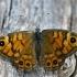 Gelsvamargis satyras - Lasiommata megera | Fotografijos autorius : Gintautas Steiblys | © Macrogamta.lt | Šis tinklapis priklauso bendruomenei kuri domisi makro fotografija ir fotografuoja gyvąjį makro pasaulį.