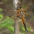 Keturtaškė skėtė - Libellula quadrimaculata  | Fotografijos autorius : Gintautas Steiblys | © Macrogamta.lt | Šis tinklapis priklauso bendruomenei kuri domisi makro fotografija ir fotografuoja gyvąjį makro pasaulį.