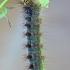 Neporinis verpikas - Lymantria dispar, vikšras | Fotografijos autorius : Gintautas Steiblys | © Macrogamta.lt | Šis tinklapis priklauso bendruomenei kuri domisi makro fotografija ir fotografuoja gyvąjį makro pasaulį.