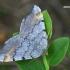Pušinis miškasprindis - Macaria liturata | Fotografijos autorius : Gintautas Steiblys | © Macrogamta.lt | Šis tinklapis priklauso bendruomenei kuri domisi makro fotografija ir fotografuoja gyvąjį makro pasaulį.