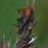 Pūsliavabalis - Anthocomus rufus  | Fotografijos autorius : Gintautas Steiblys | © Macrogamta.lt | Šis tinklapis priklauso bendruomenei kuri domisi makro fotografija ir fotografuoja gyvąjį makro pasaulį.
