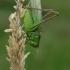 Dvispalvis spragtukas - Metrioptera bicolor  | Fotografijos autorius : Gintautas Steiblys | © Macrogamta.lt | Šis tinklapis priklauso bendruomenei kuri domisi makro fotografija ir fotografuoja gyvąjį makro pasaulį.