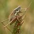 Paprastasis spragtukas - Roeseliana roeselii | Fotografijos autorius : Gintautas Steiblys | © Macrogamta.lt | Šis tinklapis priklauso bendruomenei kuri domisi makro fotografija ir fotografuoja gyvąjį makro pasaulį.